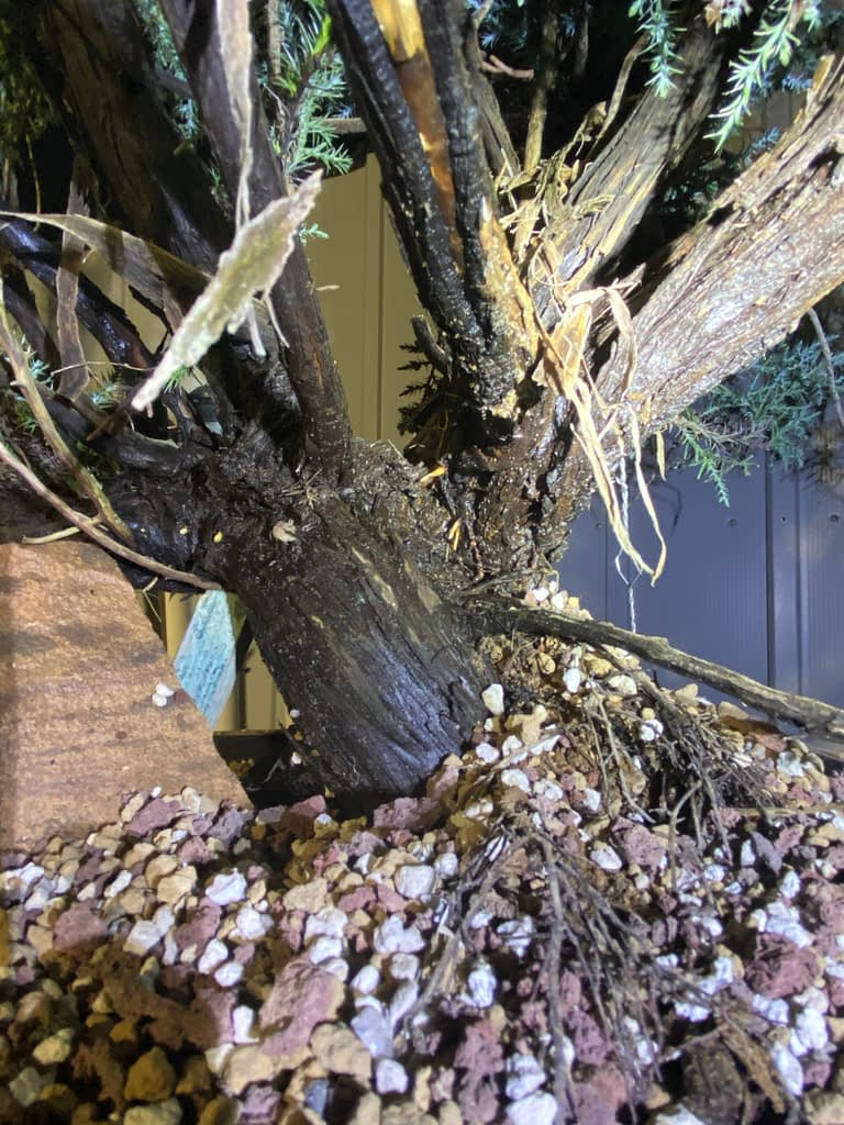 roots sprouting high on a california juniper in sawdust bed
