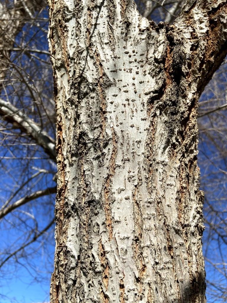 chinese elm bark vs siberian elm bark how to tell (6)