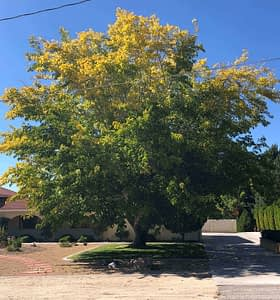 Fruitless Mulberry, Shade, Fast growing shade tree