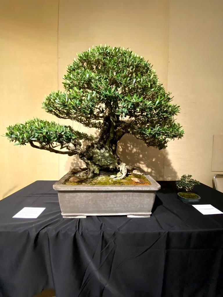 mid sized olive bonsai display