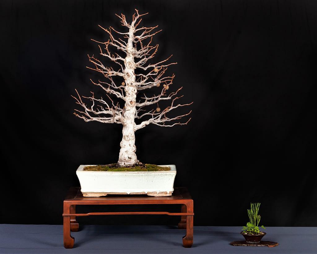 Liquidambar Orientalis Bonsai Display Winter Silhouette