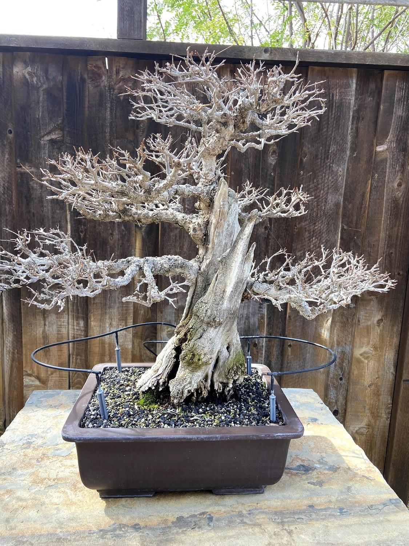 pomegranate bonsai deadwood display