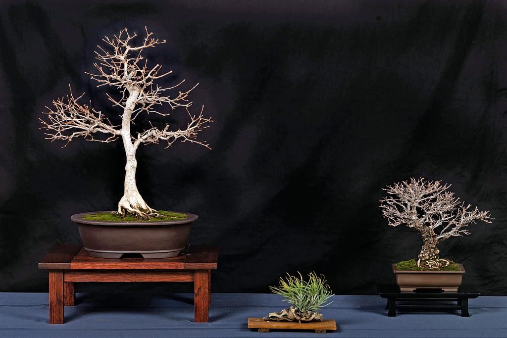 Corkbark Elm Trident Maple Display Bonsai