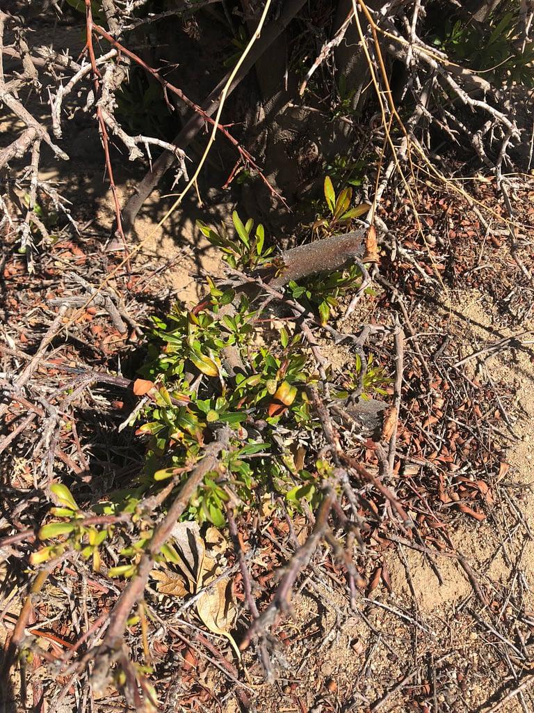 Pyracantha Bonsai Yardadori Ground Layer