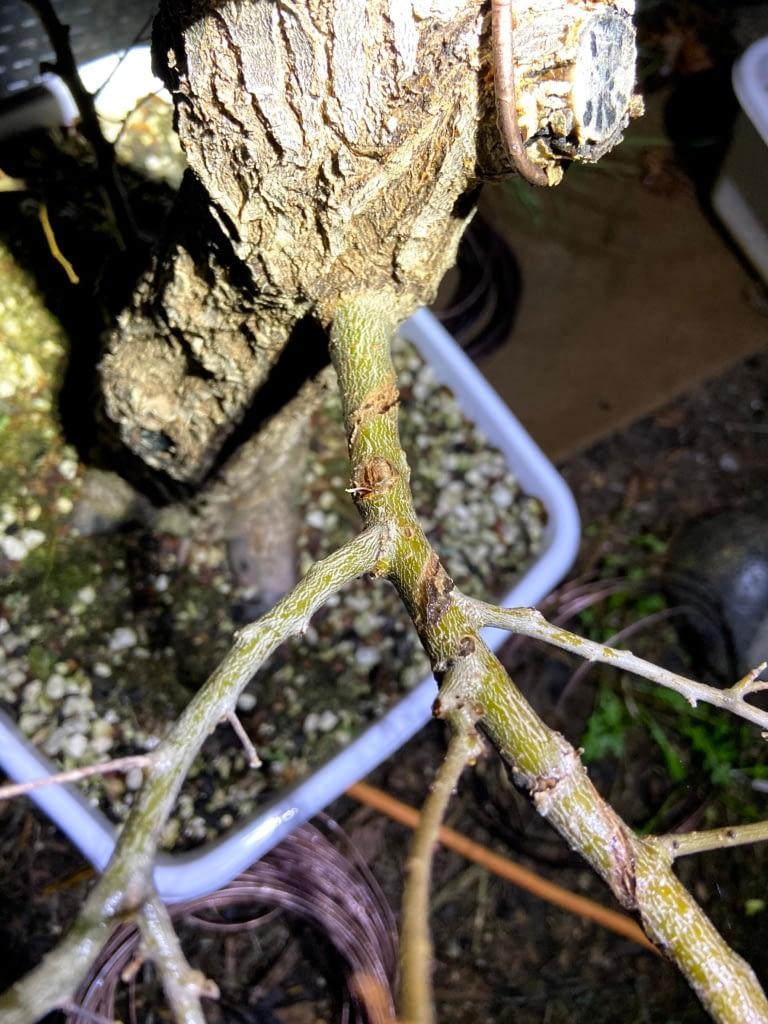 siberian elm bonsai branch wired