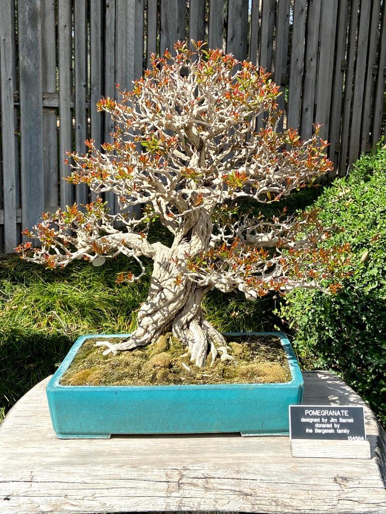 twisted pomegranate bonsai