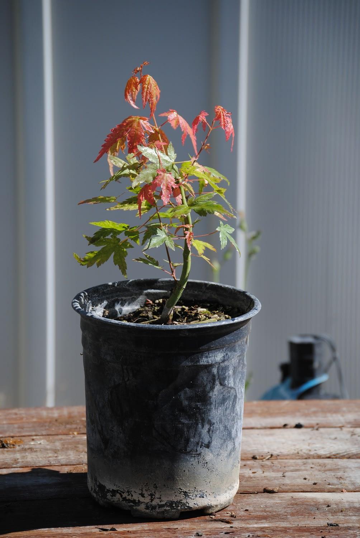 japanese maple pre bonsai
