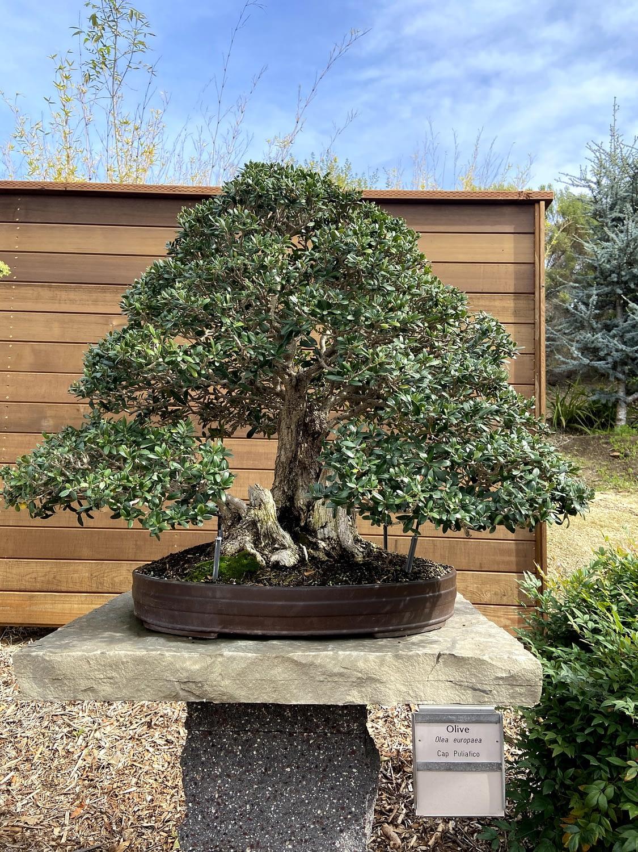 large olive bonsai san diego zoo