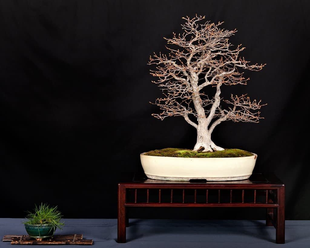 Korean Hornbeam Bonsai Winter Silhouette Display
