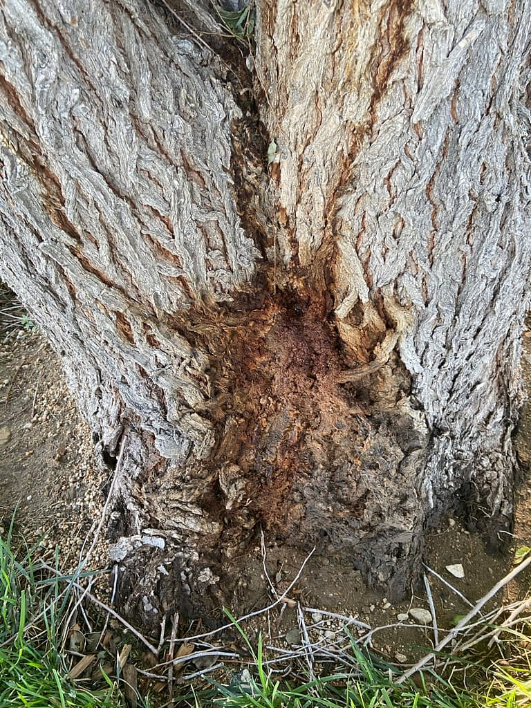Bacterial wet wood or slime flux on siberian elm