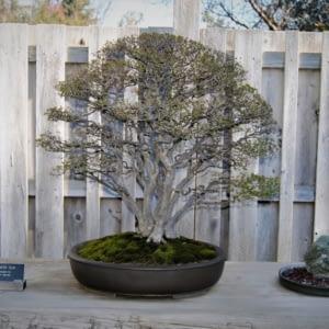 Chinese Elm multi trunk bonsai tree