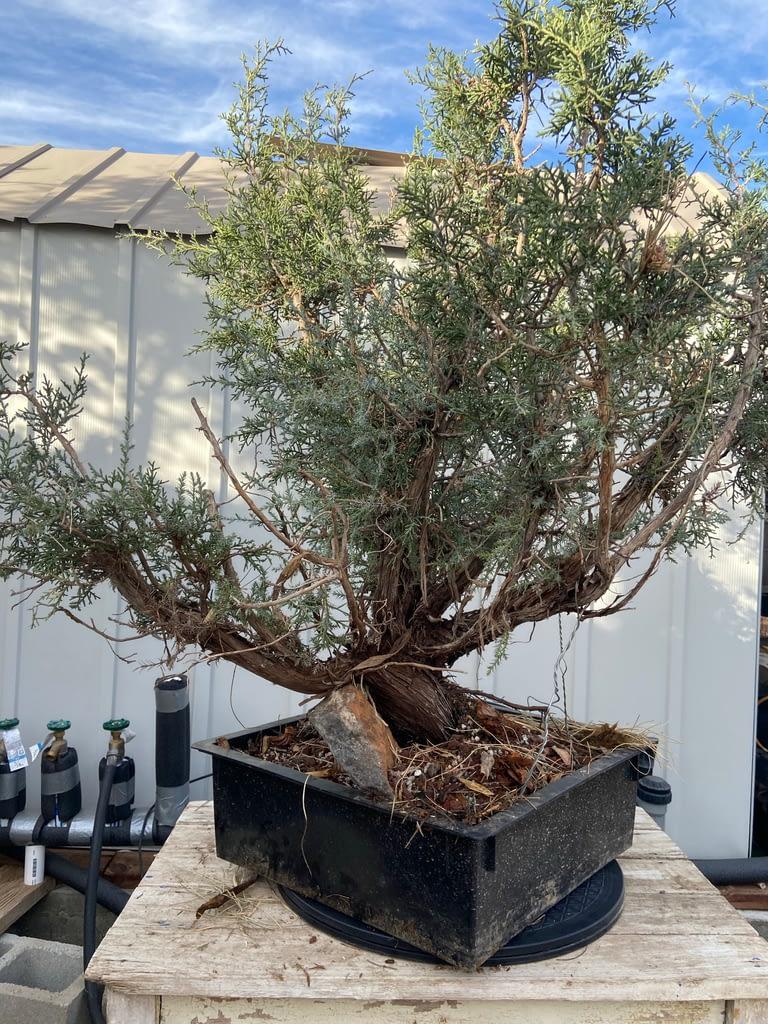 california juniper yamadori for sale