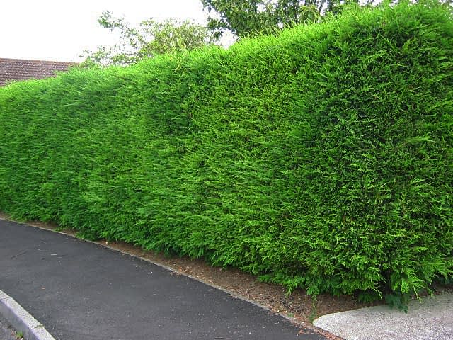 privacy screen hedge leyland cypress