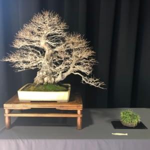 amazing korean hornbeam bonsai winter silhouette