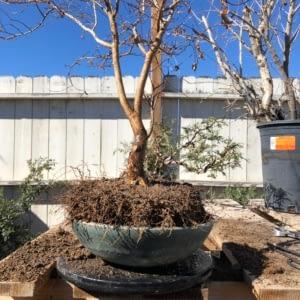 crape myrtle bonsai repotting