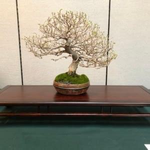 shoshin catlin elm orange country bonsai society show