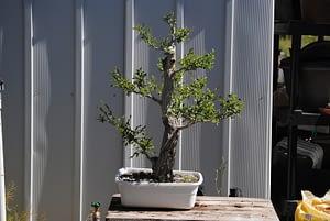 siberian elm bonsai tree