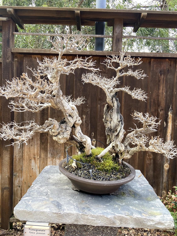 pomegranate bonsai display san diego