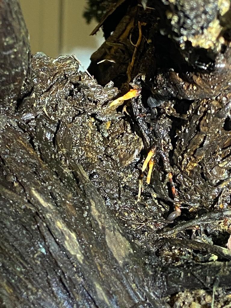 california-juniper-high-roots-2