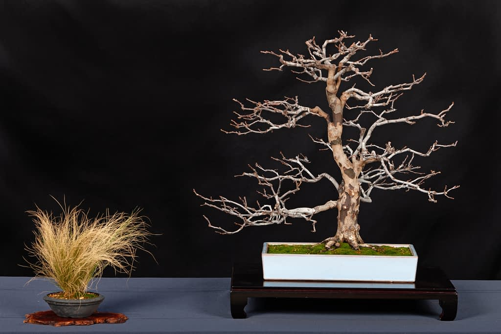 Chinese Quince Bonsai Display Ted Matson