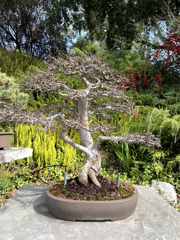 chinese elm bonsai display san diego zoo