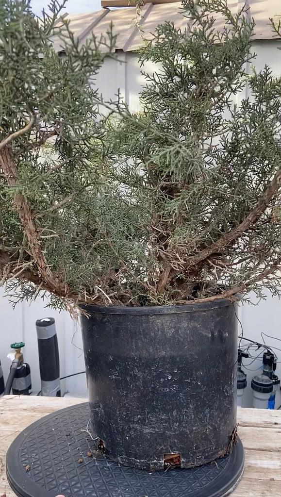 california juniper danger tree 1