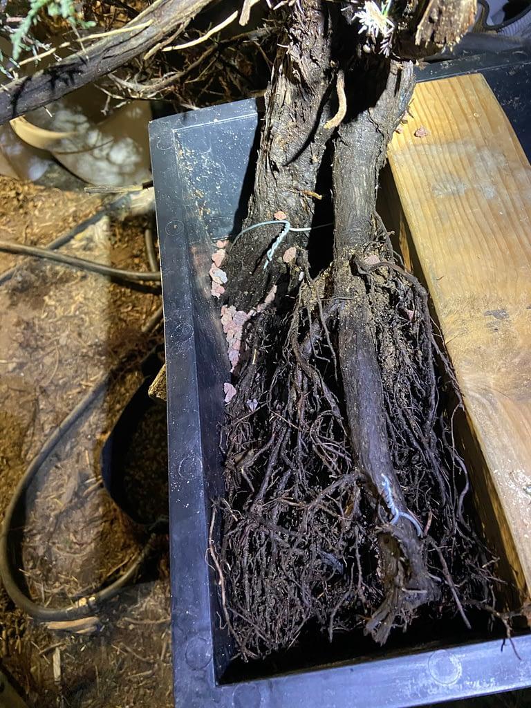 california juniper bonsai yamadori danger tree