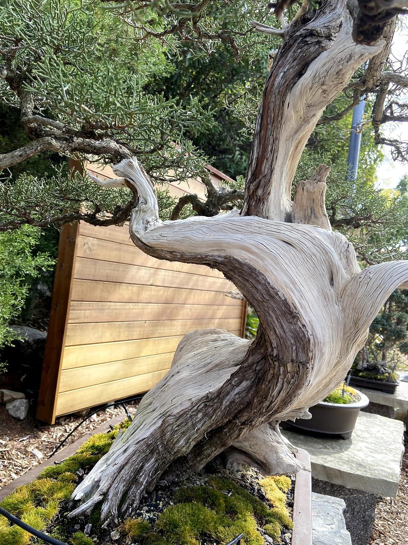 juniperus californica bonsai live vein