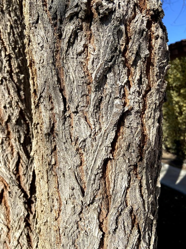 chinese elm bark vs siberian elm bark how to tell (7)