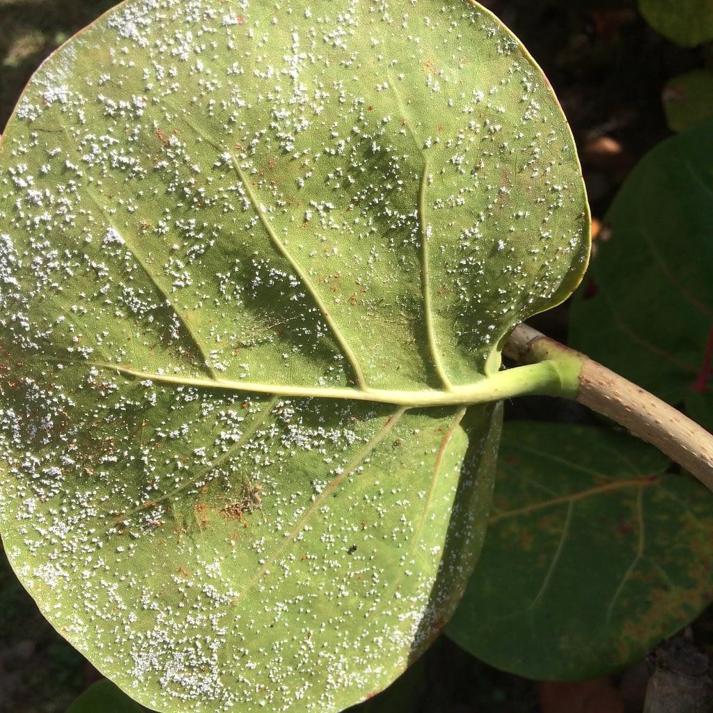 Whiteflies On Leaf