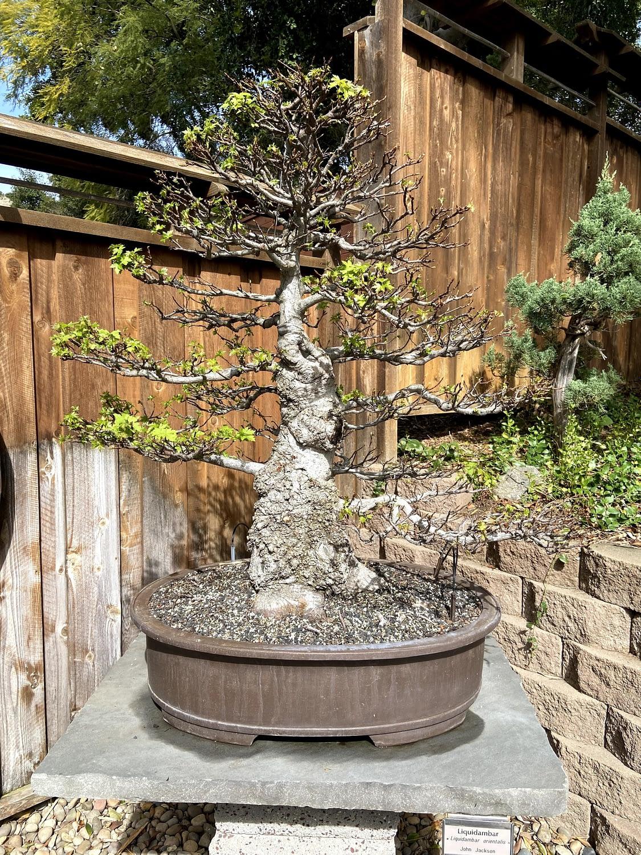 large leaf maple bonsai display san diego zoo