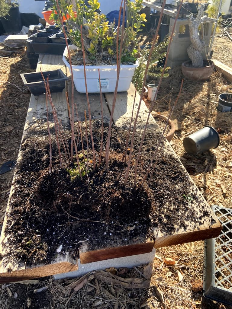 silver maple forest creation from seed (9)