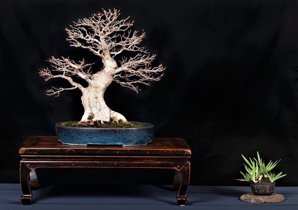 Trident Maple Bonsai Display
