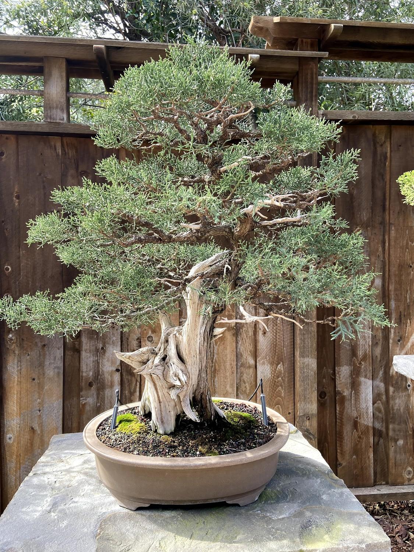 juniper bonsai san diego
