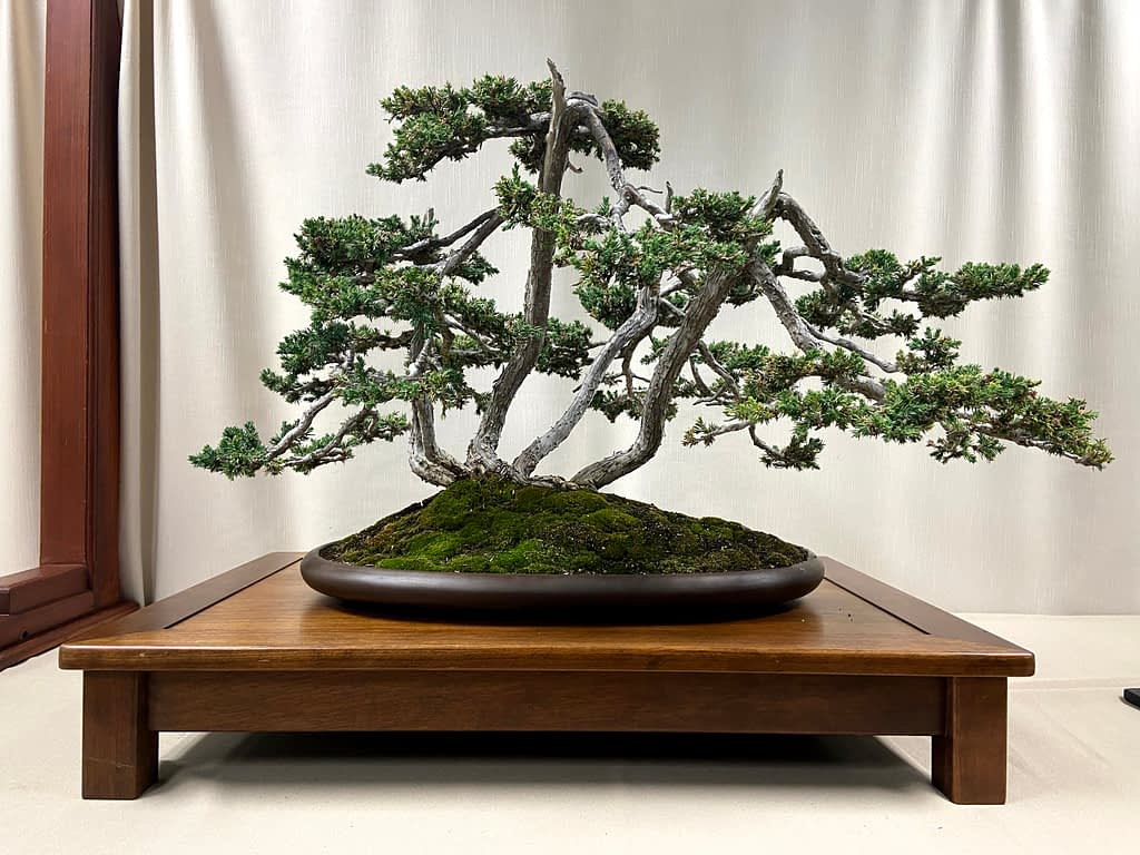 foemina juniper bonsai multi trunk raft