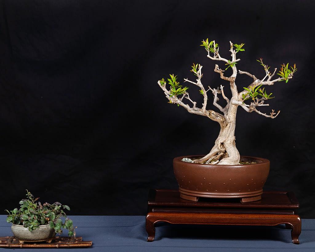 Twisted Pomegranate Bonsai Display