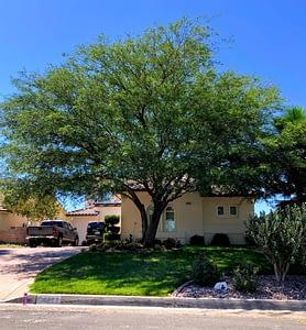 High Desert Mesquite Tree
