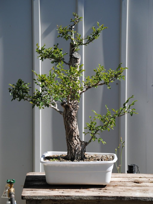 Siberian Elm #1