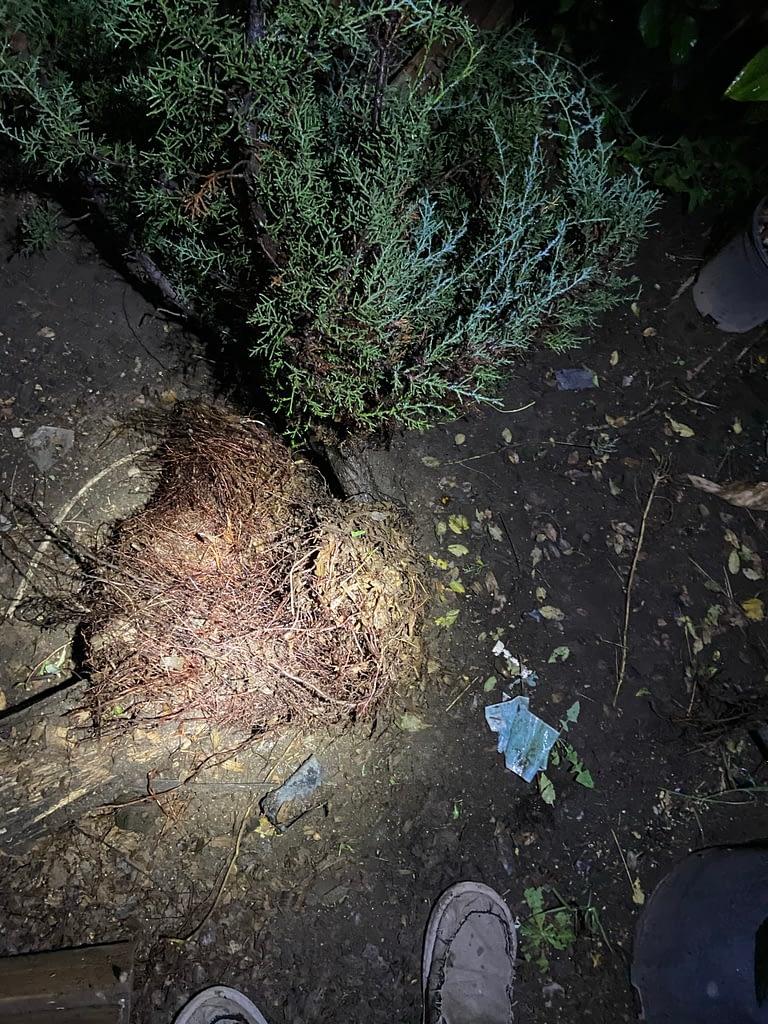 sawdust bed yamadori bonsai roots