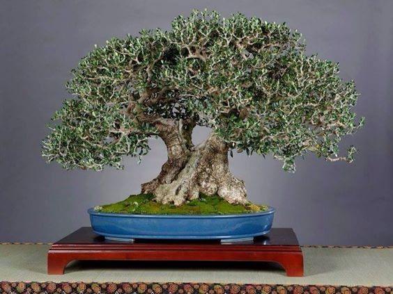 Olive bonsai tree display