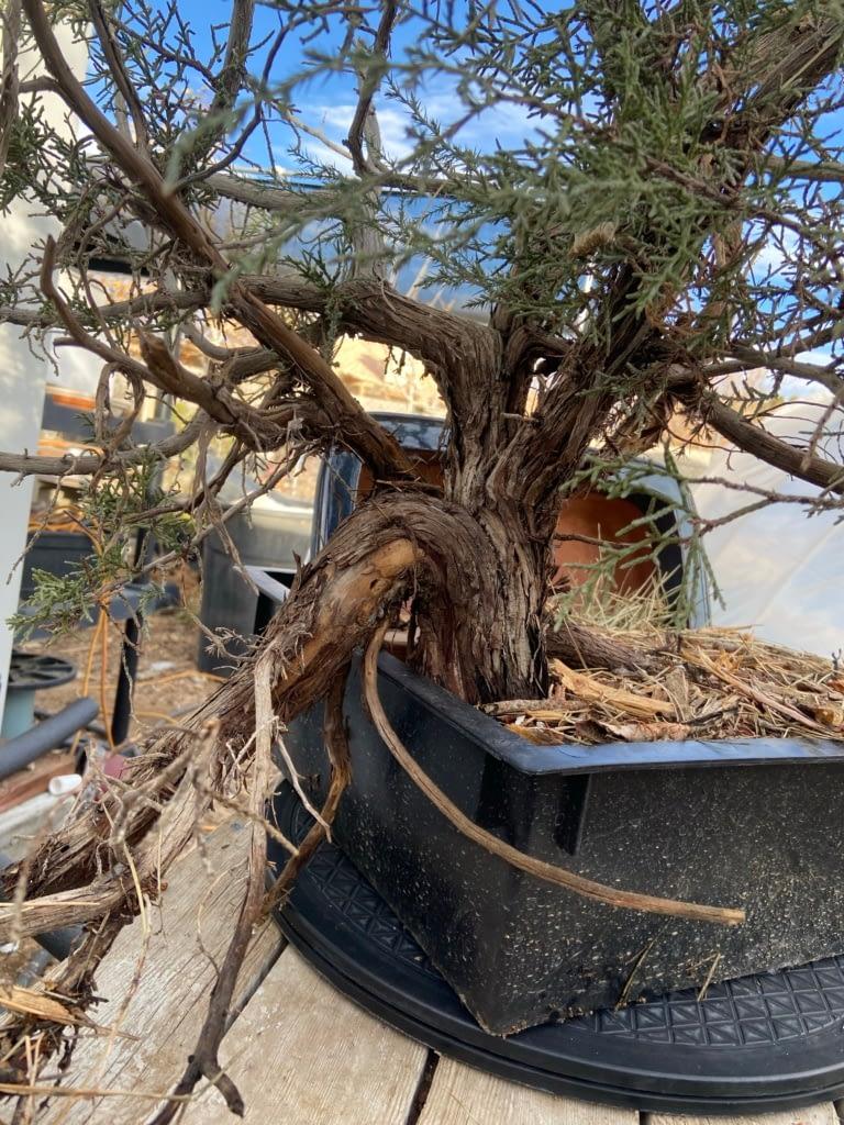 california juniper yamadori #5