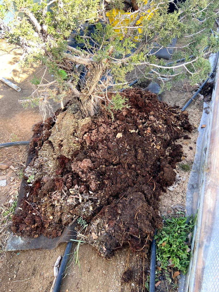 california juniper bonsai yamadori collected recovery sawdust bed