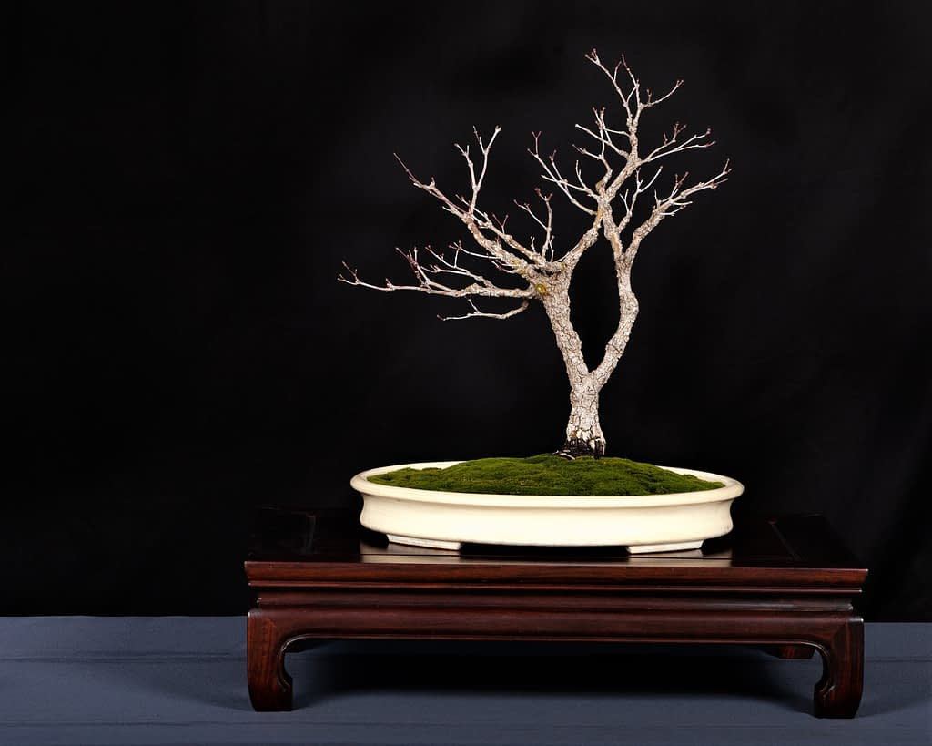 Pinebark Maple Bonsai Display