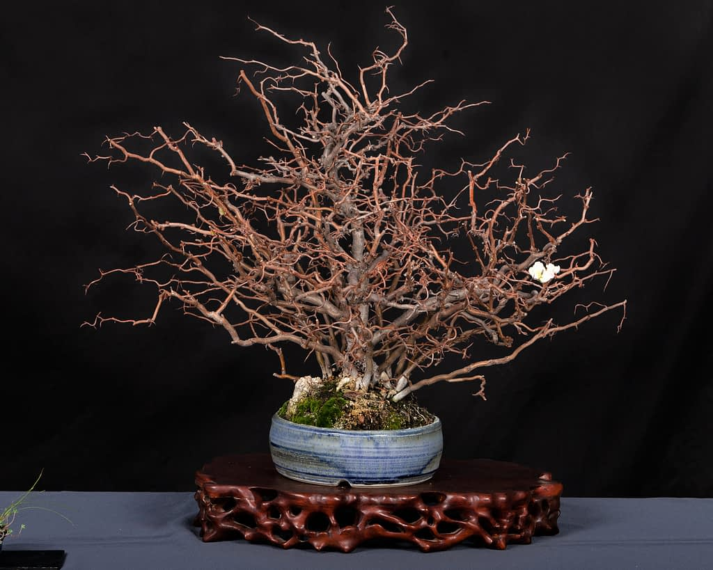 Contorted Quince Bonsai Display