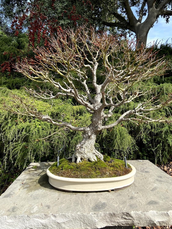 japanese maple bonsai display san diego zoo