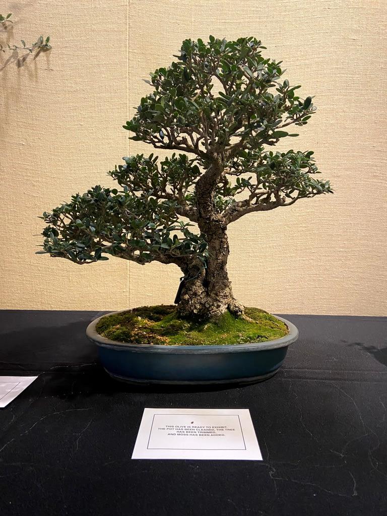 olive bonsai tree on display