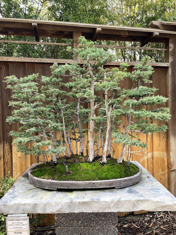 formina juniper bonsai