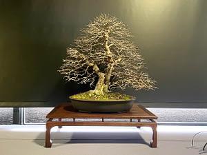 bonsai exhibition winter silhouette korean hornbeam bonsai