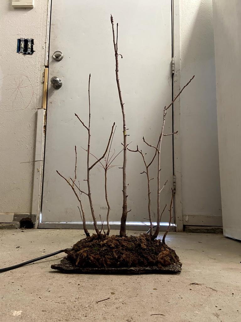 Chinese Pistache Bonsai Forest Creation (8)