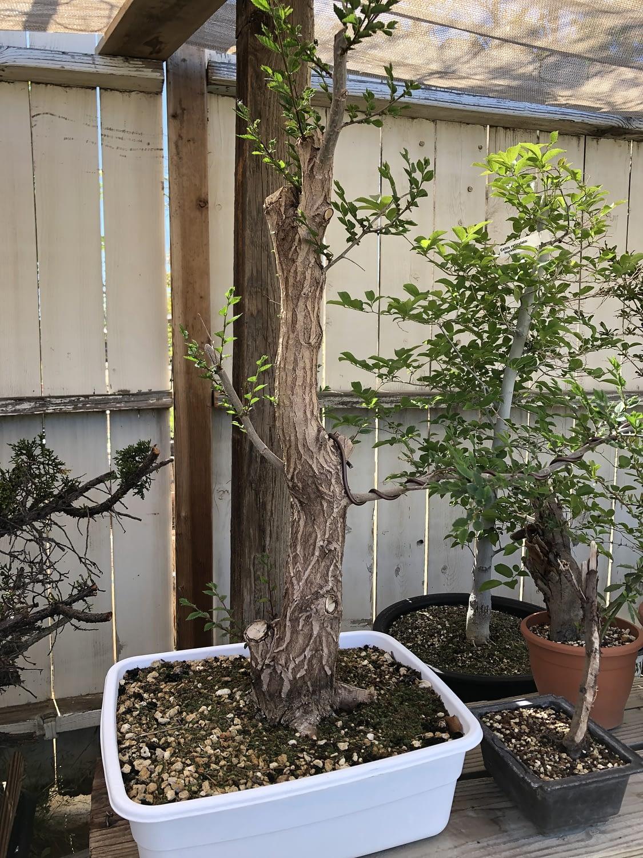 siberian elm yamadori leafing out